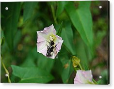 Acrylic Print featuring the photograph Pollenating Bee by Ramona Whiteaker