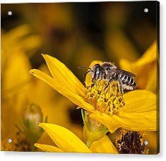 Acrylic Print featuring the photograph Pollenating Coreopsis Flower by Len Romanick