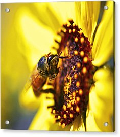 Pollinating Acrylic Print
