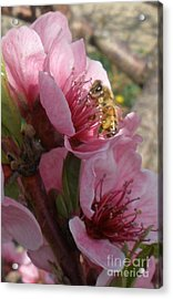 Pollinate Acrylic Print by Polly Anna