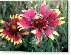 Pollination #1 Acrylic Print by Camille Reichardt