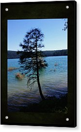 Pollock Pine Acrylic Print by Sherry Flaker