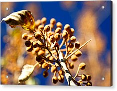 Pollyana Seed Pods Acrylic Print by Christopher McPhail