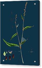 Polygonum Mite Lax-flowered Persicaria Acrylic Print