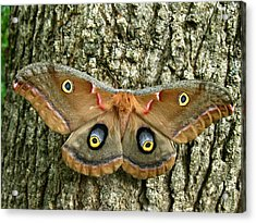 Acrylic Print featuring the photograph Polyphemus Moth by William Tanneberger