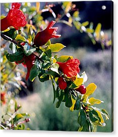 Acrylic Print featuring the photograph Pomegranate Forming by Kathy Bassett