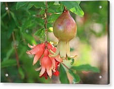 Acrylic Print featuring the photograph Pomegranate by Shirin Shahram Badie