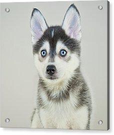Pomsky Puppy Acrylic Print by Stockimage