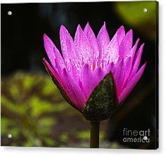 Pond Bloom Acrylic Print