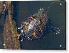 Pond Slider Turtle Acrylic Print by Rudy Umans