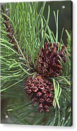 Ponderosa Pine Cones Acrylic Print by Sharon Talson