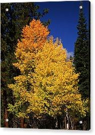 Ponderosa Pine With Aspen And Fir Trees Acrylic Print