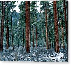 Ponderosa Pines In Snow, Deschutes Acrylic Print