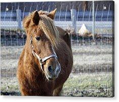 Pony Acrylic Print by Denise Pohl