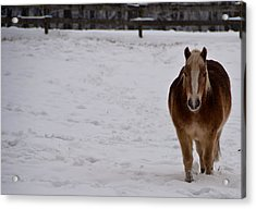 Pony In Snow Acrylic Print by Nickaleen Neff
