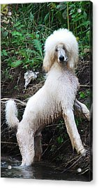 Poodle In The Forest Acrylic Print