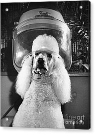 Poodle Perm Acrylic Print by ME Browning
