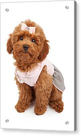 Poodle Puppy Wearing Pink Outfit Acrylic Print