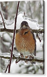 Acrylic Print featuring the photograph Poor Robin by I'ina Van Lawick