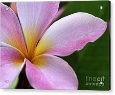 Pop Of Pink Plumeria Acrylic Print