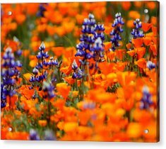 Poppies And Lupine Acrylic Print by Bill Keiran