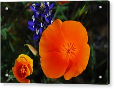 Poppies And Lupine Acrylic Print by Lynn Bauer
