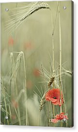 Poppies And Wheat Ear Acrylic Print