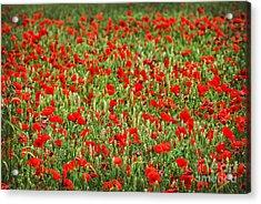 Poppies In Wheat Acrylic Print by Elena Elisseeva