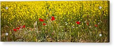Poppies In Yellow Field Acrylic Print