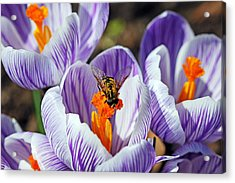Acrylic Print featuring the photograph Popping Spring Crocus by Debbie Oppermann