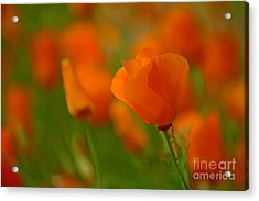 Acrylic Print featuring the photograph Poppy Art by Nick  Boren