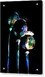 Poppy Buds Acrylic Print