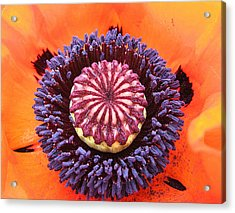 Poppy Delight Acrylic Print
