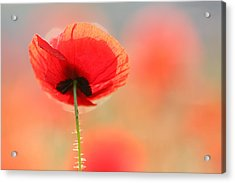 Poppy Dream Acrylic Print by Roeselien Raimond