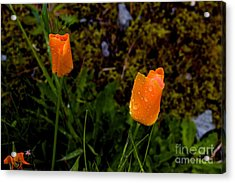 Poppy Drop Acrylic Print by Tim Rice