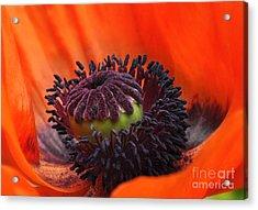 Poppy Acrylic Print by Elaine Manley