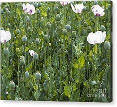 Poppy Field Acrylic Print by Michal Boubin