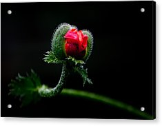 Poppy Flower Acrylic Print by Mikhail Pankov
