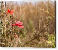 Acrylic Print featuring the photograph Poppy. by Gary Gillette