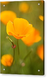 Acrylic Print featuring the photograph Poppy II by Ronda Kimbrow