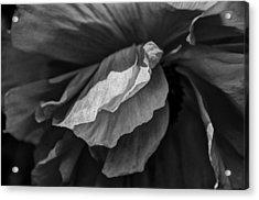 Poppy In Black And White May 2011 Acrylic Print by Joseph Duba