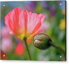 Poppy In Waiting Acrylic Print by Rona Black