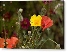 Acrylic Print featuring the photograph Poppy Love by Mark Greenberg