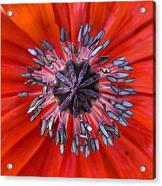 Poppy - Macro Acrylic Print by Marianna Mills