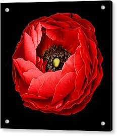 Poppy On Black Background Acrylic Print