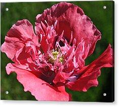 Poppy Pink Acrylic Print by Jim Hogg