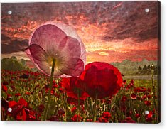 Poppy Sunrise Acrylic Print by Debra and Dave Vanderlaan