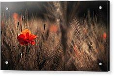 Poppy With Corn Acrylic Print by Nicodemo Quaglia