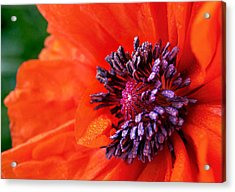 Poppy's Purple Passion Acrylic Print
