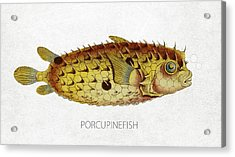 Porcupinefish Acrylic Print by Aged Pixel